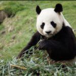 【茨城】日立市かみね動物園にジャイアントパンダがくるかもしれないって?!おったまげ〜☆